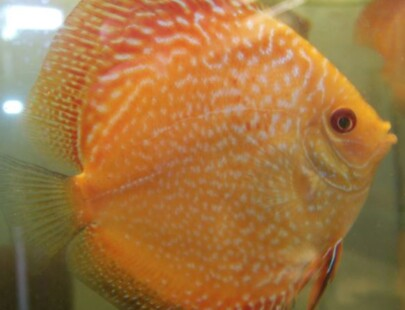 checkerboard pigeon blood discus