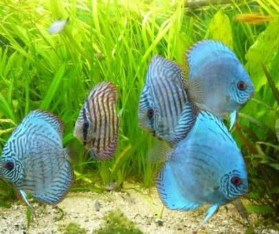discus fish facts
