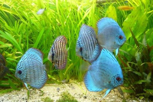 discus fish facts