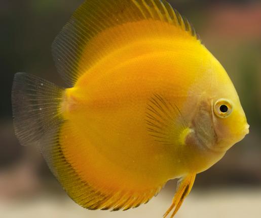 golden yellow discus