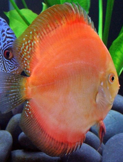 super red discus