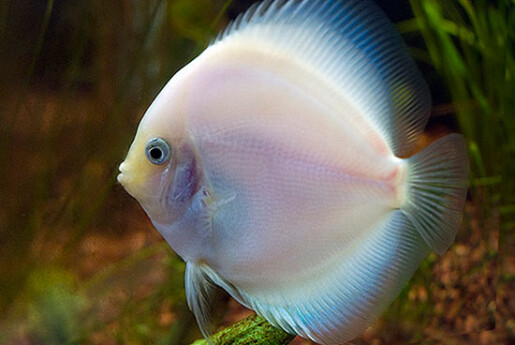 white ghost discus