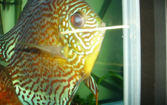 discus cloudy eye