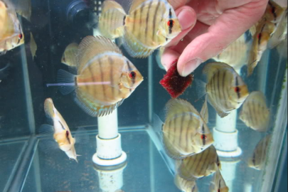 feeding discus fish