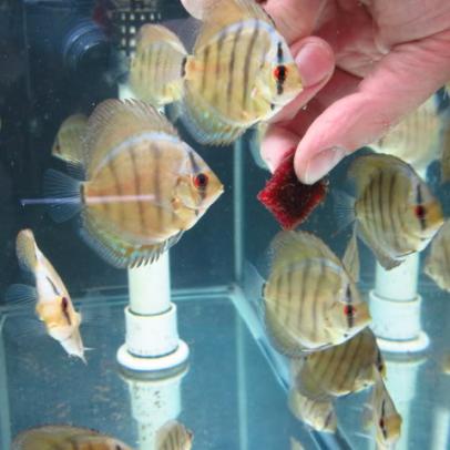 feeding discus fish