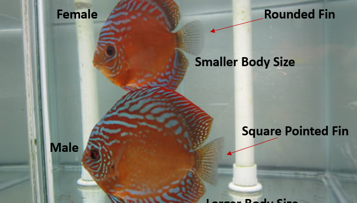 sexing discus fish
