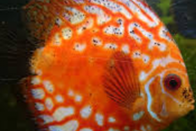 black peppering on discus fish