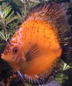 black spots on discus fish
