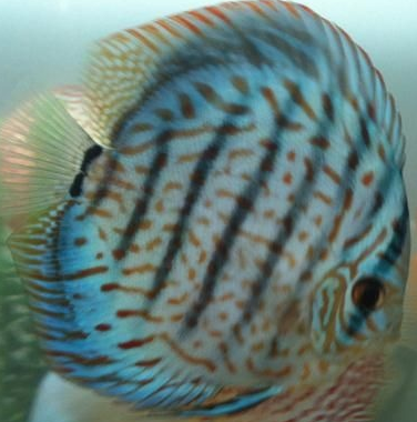 blue face discus