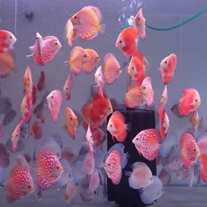 discus fish origins