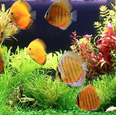 mixing domestic and wild discus