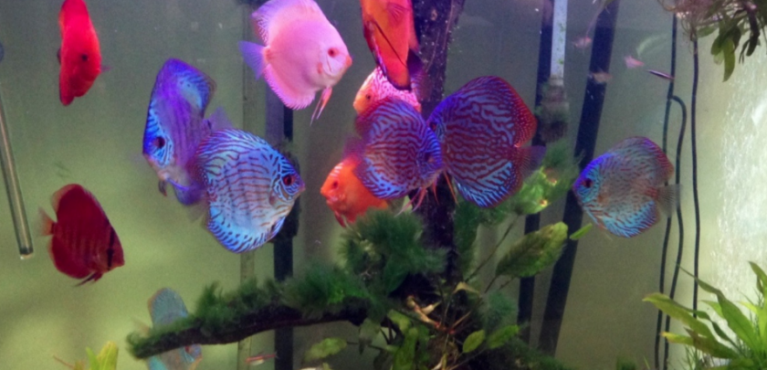 why discus fish are expensive