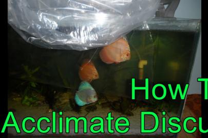 Discus Acclimation Methods