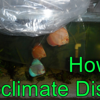 Discus Acclimation Methods