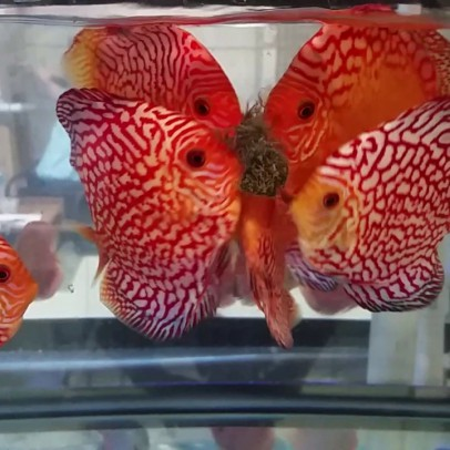 best food for discus
