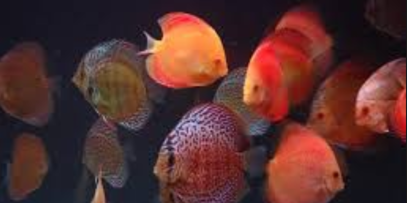how many discus