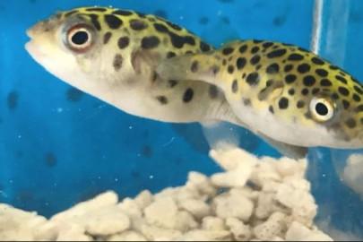 freshwater puffer fish