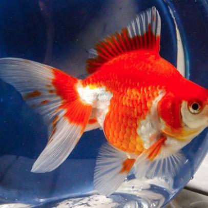 ryukin goldfish