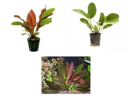 live sword plant