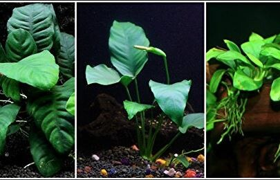 live anubias plant bundle