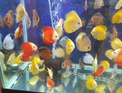 assorted discus fish