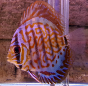 purple cobalt discus