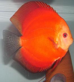 red velvet discus