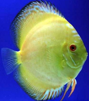 yellow panda discus
