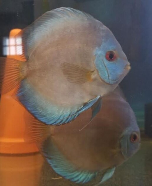 blue diamond breeding pair