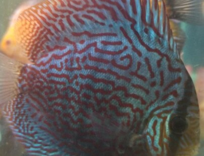 purple tiger discus