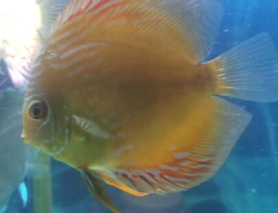 royal brown discus