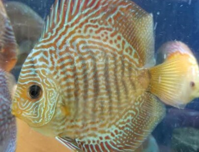 snakeskin discus 4 inch