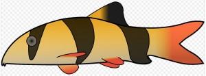 best discus tank mates Chromobotia macracanthus