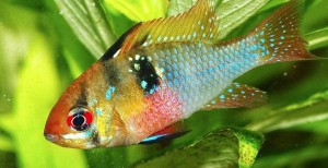 best discus tank mates Mikrogeophagus ramirezi