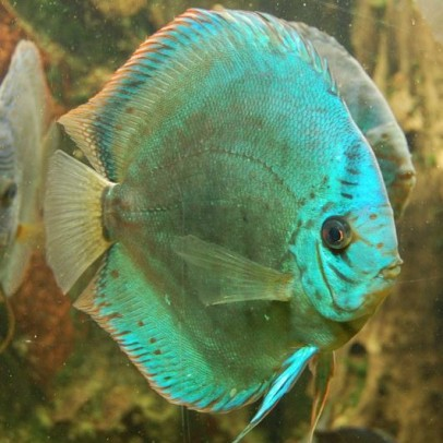 are discus fish hard to keep