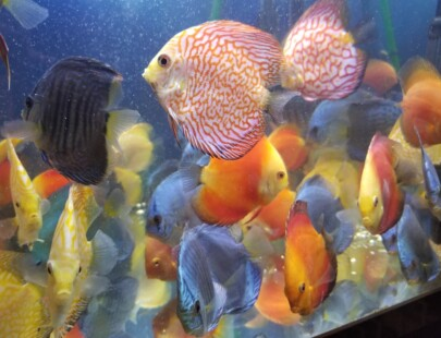 assorted discus fish - 3 inch