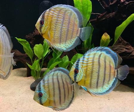 best discus fish food