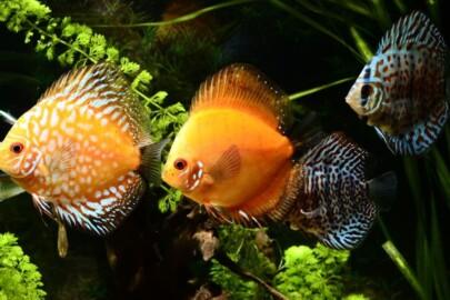 discus fish price